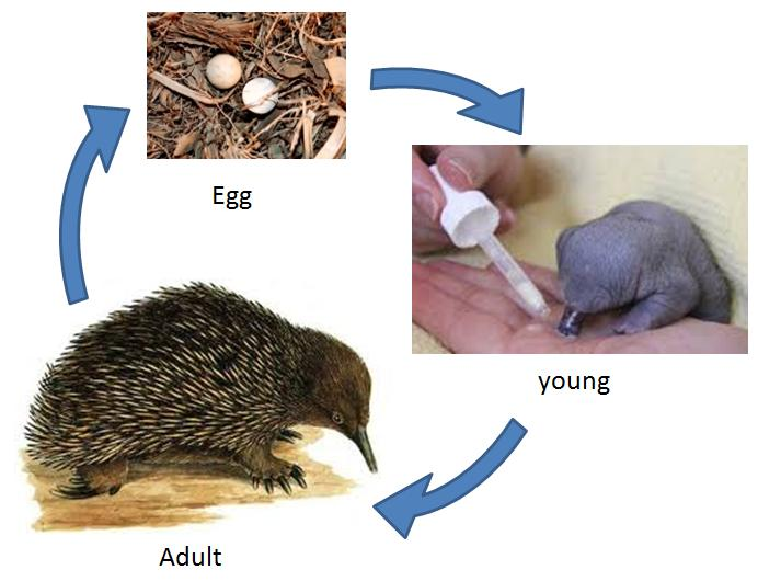 Egg-laying mammals are known as